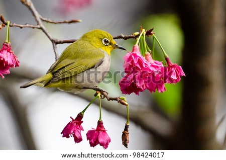 the japanese white eye in taiwan, it is widespread and common in japan and other asia countries