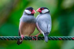 TheJava sparrow also known asJava finch,Java rice sparrow or Lonchura oryzivora