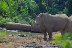 The Javan rhinoceros (Rhinoceros sondaicus), also known as the Sunda rhinoceros or lesser one-horned rhinoceros, is a very rare member of the family Rhinocerotidae and one of five extant rhinoceroses.