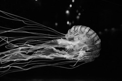 The jellyfish on black background. Shoot in black and white shot.