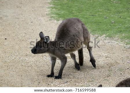the joey kangaroo-Island kangaroo is alert looking for danger #716599588