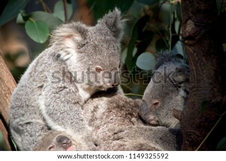 the joey koalas are cuddling together in the tree #1149325592