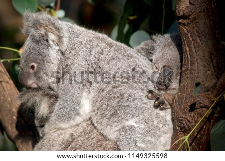 the joey koalas are cuddling together in the tree #1149325598
