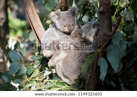 the joey koalas are cuddling together in the tree #1149325601