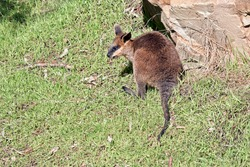 the joey swamp wallaby has a brown body white cheeks and a black mask