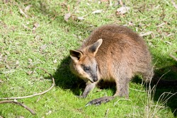 the joey swamp wallaby has a brown body white cheeks and a blacki mask