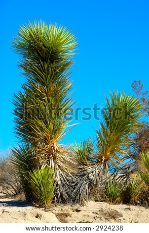The Joshua tree (Yucca brevifolia) is a monocotyledonous tree native to the state of California and photographed in Death Valley National Park, California, USA.