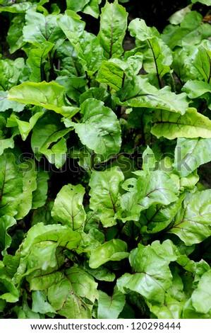 the juicy green tops of beet is in a garden - stock photo