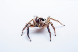 The jumping spider on white background. Close up of the side corner of the jumping spider on white paper background.