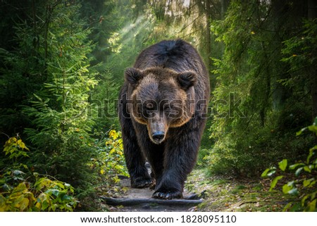The Kamchatka brown bear or Ursus arctos piscator. Bear is coming towards the camera. Closeup of kamchatka brown bear.