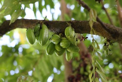 The kamias (Averrhoa bilimbi) fruit is very popular in the Philippines and is used for food preparation.
