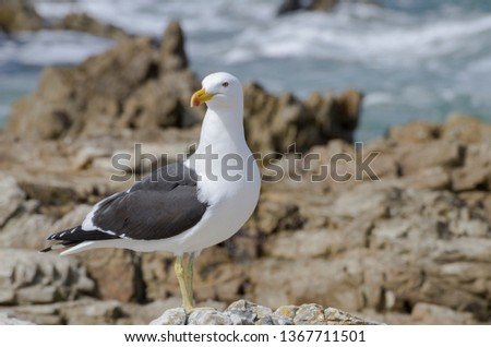 The kelp gull (Larus dominicanus), also known as the Dominican gull.