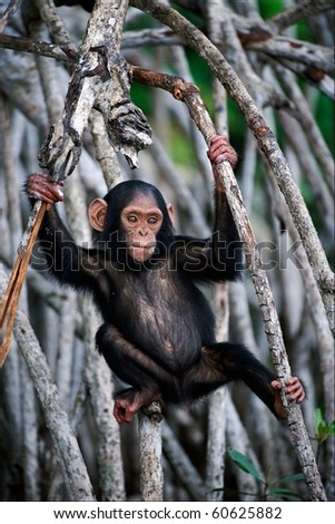 The kid of a chimpanzee. The cub of a chimpanzee frolics on roots mangrove thickets.