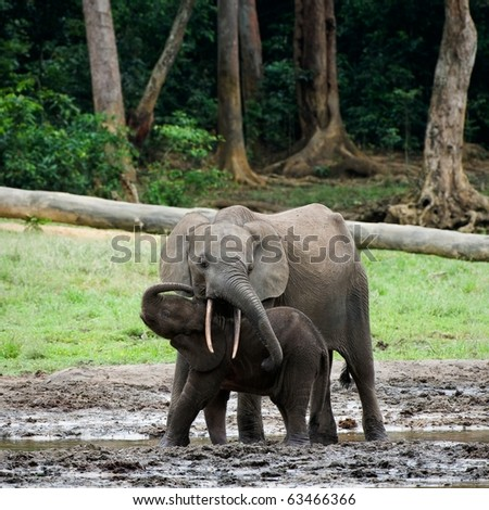 The kid the elephant calf with mum. The African Forest Elephant (Loxodonta cyclotis) is a forest dwelling elephant of the Congo Basin.
