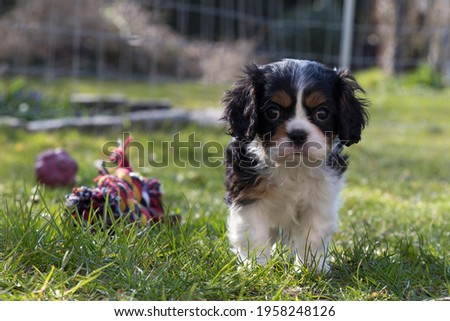 The King Charles Cavalier Spaniel puppy Photo stock ©