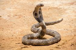 The King Cobra on sand