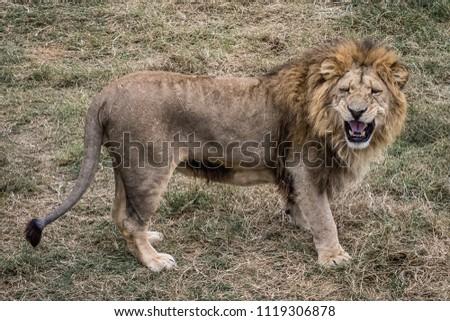 The king of animals Stok fotoğraf ©
