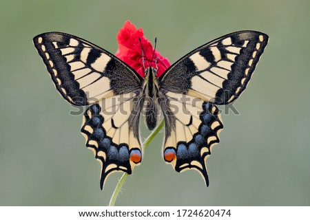 Photo of  The King of the meadows. portrait of the Old World Swallowtail (Papilio machaon)
