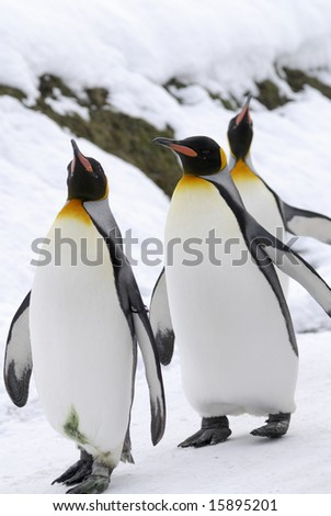 The King Penguin (Aptenodytes patagonicus) is the second largest species of penguin