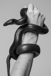 The king's snake Nigrita surrounds the male hand. Black and white photo.