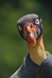 The king vulture (Sarcoramphus papa) is a large bird found in Central and South America. It is a member of the New World vulture family Cathartidae.
