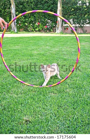 The kitten coming into the hoola hoop.
