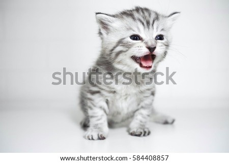 the kitten meows shouts...