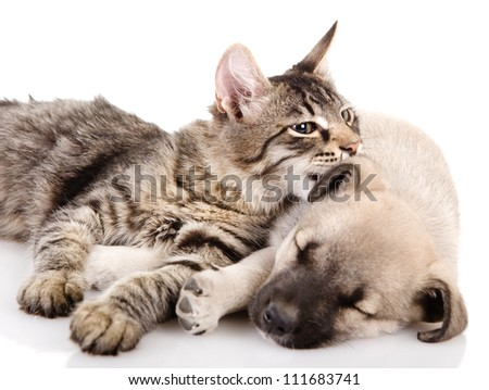 the kitten whispers to a dog. isolated on white background