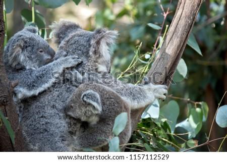 the koala is looking after two joey koalas #1157112529