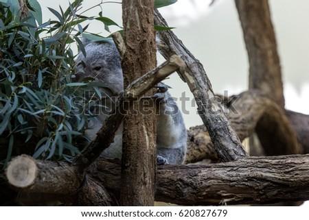 The koala loves eucalyptus #620827679