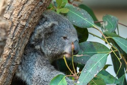 The koala or koala bear, is an arboreal herbivorous marsupial native to Australia. On the photo is koala in zoo Zurich.