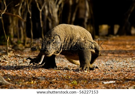 The Komodo dragon, a ferocious carnivore and predator, lazily walking along a forest path on Komodo Island, Indonesia. Horizontal copy space