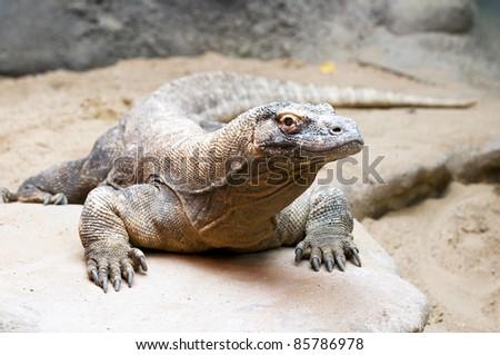 The komodo dragon (also known as the komodo monitor)