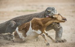 The Komodo dragon (Varanus komodoensis) attacks the prey. It is the biggest living lizard in the world.On island Rinca. Indonesia.