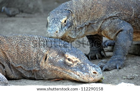 The Komodo dragon, Varanus komodoensis, is the biggest living lizard in the world, Indonesia.