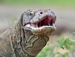 The Komodo dragon ( Varanus komodoensis ) raised the head and opened a mouth. It is the biggest living lizard in the world. Island Rinca. Indonesia.