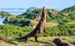 The Komodo dragon (Varanus komodoensis) stands on its hind legs and open mouth. It is the biggest living lizard in the world. On island Rinca. Indonesia.