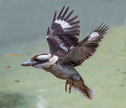 The kookaburra bird from Australia in Flight