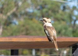 The Kookaburra bird is standing on the wooden bar. The native bird of Australia and New Guinea