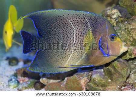 The Koran or Semicircle Angelfish, Pomacanthus semicirculatus, having almost completed transition from juvenile to adult colors. The semicircular bars in the middle give the fish its name.