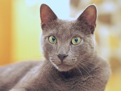 The Korat, Si sawat, Malet grey cat resting indoors in the house.