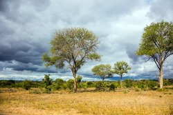 The Kruger Park. African savannah - flat bushveld overgrown with yellow grass and desert acacia. South Africa. Beautiful cloudy and windy day. The concept of active, extreme and photo tourism