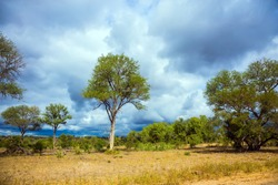The Kruger Park. South Africa. African savannah - flat bushveld overgrown with yellow grass and desert acacia. Beautiful cloudy day. The concept of active, extreme and photo tourism