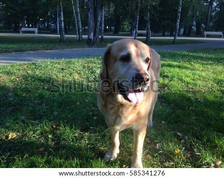 The Labrador, 2014, Ukraine #585341276