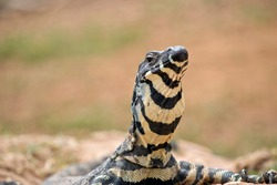 the lace lizard is a large grey, black and cream lizard