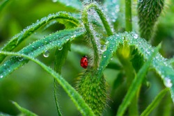 The ladybug and dewdrops. Early morning close-up of insect and fresh juicy green colourful grass. Beautiful ladybug and harmony of a flower bud in the rain.