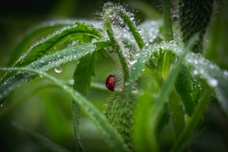 The ladybug and dewdrops. Early morning of insect and fresh juicy green colorful grass. Beautiful ladybug and harmony of a flower bud in the rain.