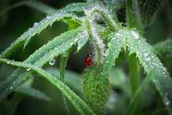 The ladybug and dewdrops. Early morning of insect and juicy green colorful grass. Beautiful ladybug and harmony of a flower bud in the rain.