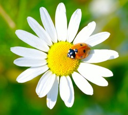The ladybug sits on a flower