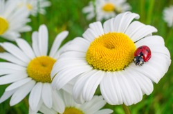 the ladybug sits on a large chamomile: close-up, super macro, idea of features, differences from everyone, personality
